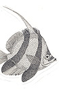 Pen and Ink Drawing of Stylised Pennant Coralfish