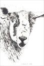 Pen and Ink Drawing of Animals - Sheep
