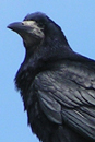 Photograph of Rook on roof